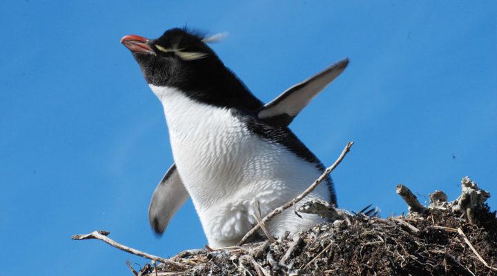 Grandes avances en estudios genéticos de pingüinos crestados