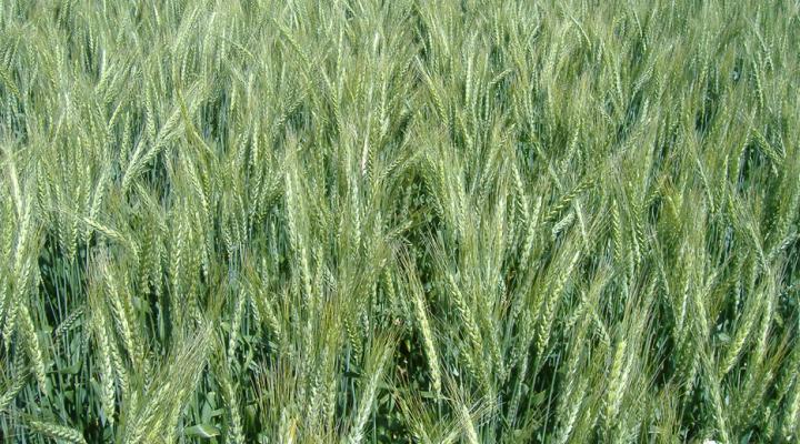 Identifican regiones genómicas importantes para mejorar el potencial de rendimiento del trigo