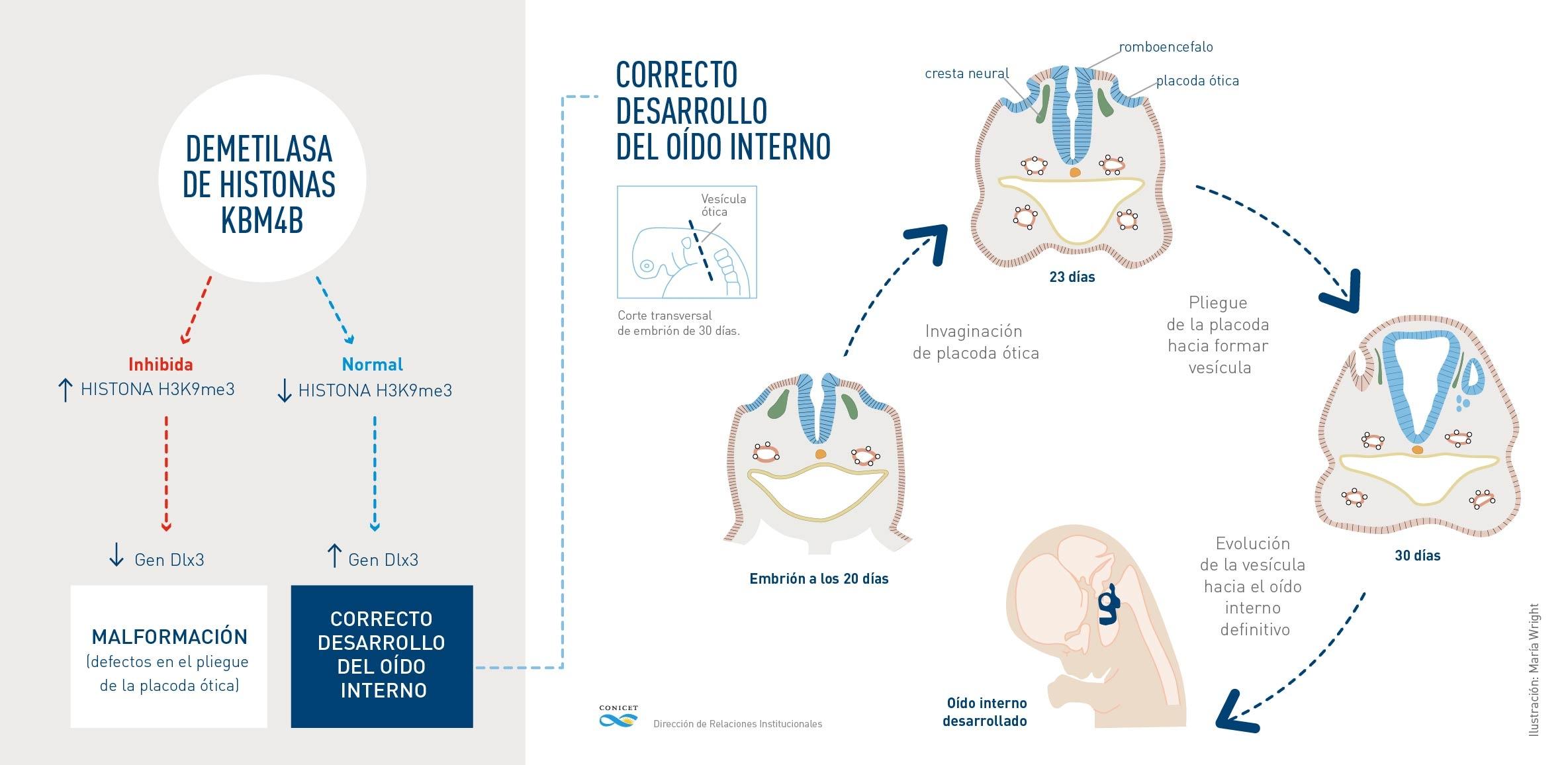 Infografia.oido.medio.epigenética