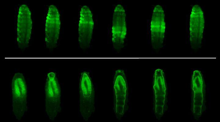 Identifican en moscas una hormona que modula el comportamiento innato