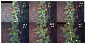 Detalle temporal  de la dinámica de la posición de los ápices de las plantas a lo largo de un surco de siembra (indicado por la línea punteada). Foto: gentileza investigadora