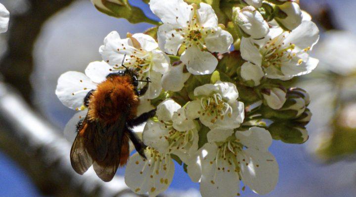 Detectan una posible reducción en la biodiversidad de abejas a nivel mundial