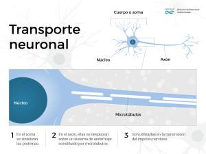 neurona microtubulos-02
