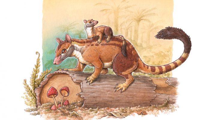 Investigadora del CONICET describe la evolución de un grupo de marsupiales que vivió durante el Paleógeno