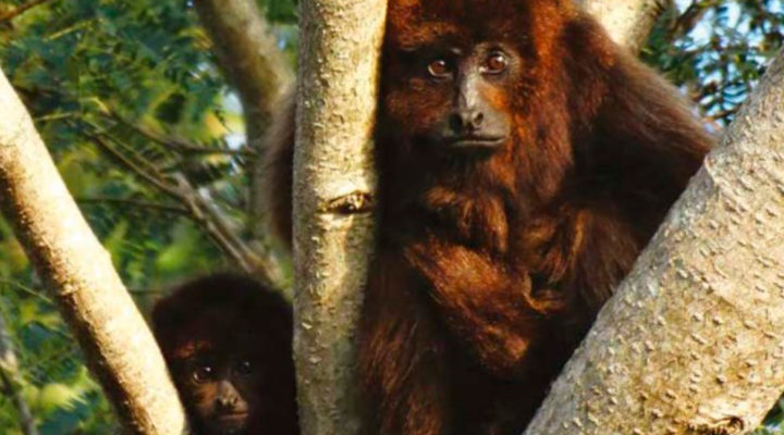 A primate that inhabits in Argentina is among the 25 world's most endangered species