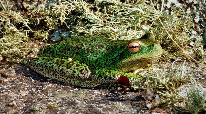 La siembra de truchas: una amenaza para la fauna nativa de las Sierras de Córdoba